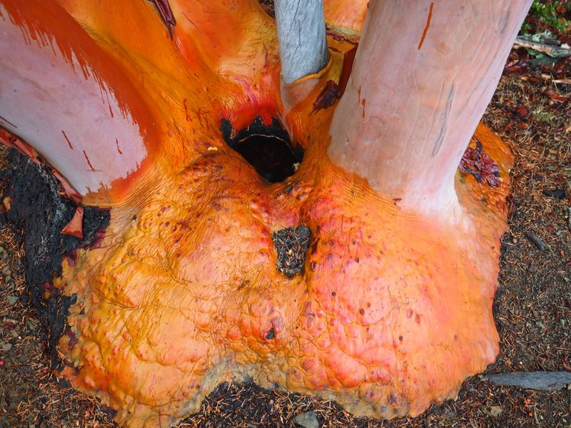 The bright red root ball of a madrone tree