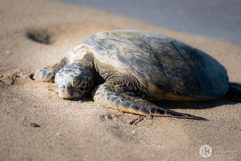 Spotlit Turtle
