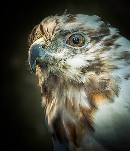 Peregrine Falcon - PSA Score 11