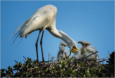 Feeding Egret - PSA Score 8