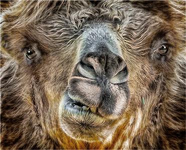 4.  camel  PSA  10