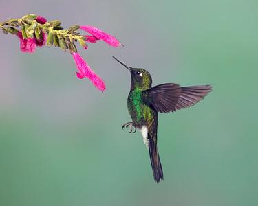 1.  Hummingbird     PSA 13 AM