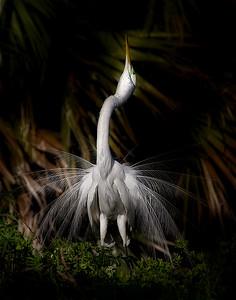 3. Egret Displaying   PSA  11