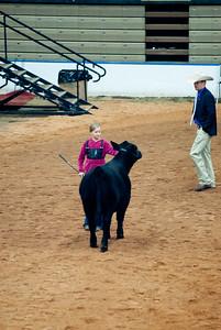 american_royal_cattle-3