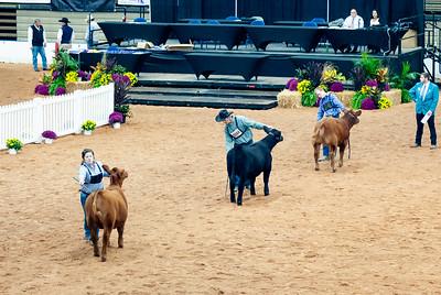 american_royal_cattle-17