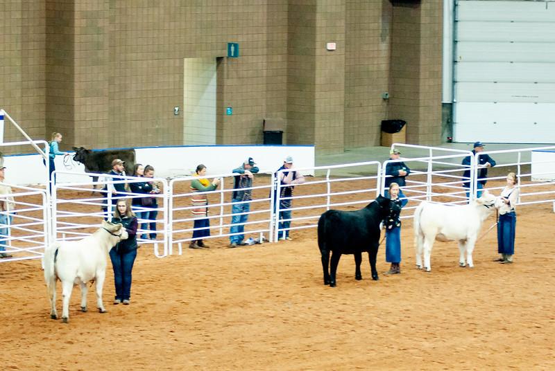 american_royal_cattle-6