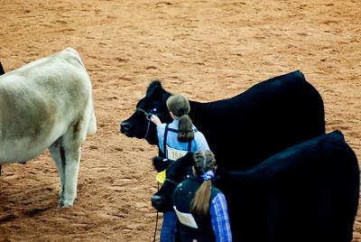 american_royal_cattle-21