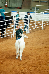 american_royal_cattle-2