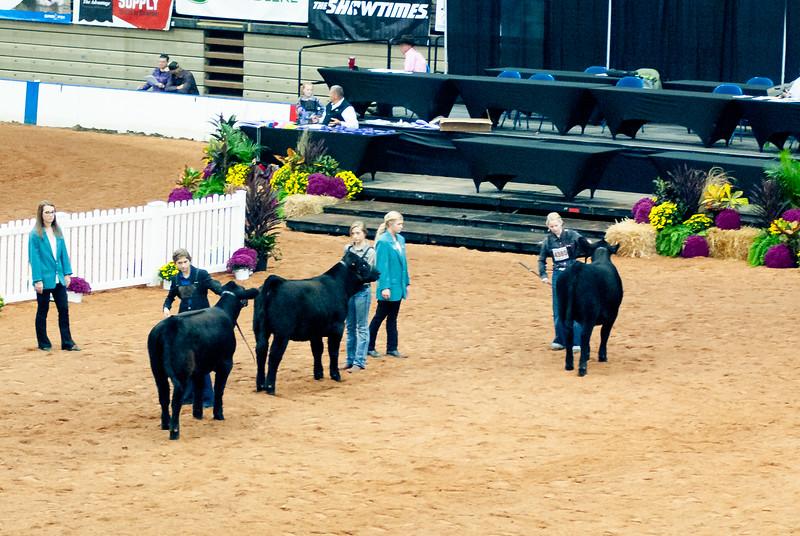 american_royal_cattle-5