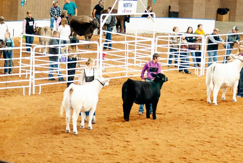 american_royal_cattle-11