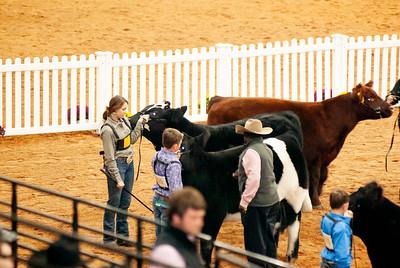 american_royal_cattle-20