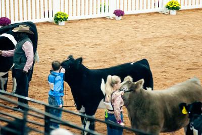 american_royal_cattle-19