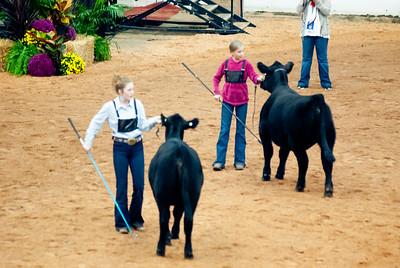 american_royal_cattle-4