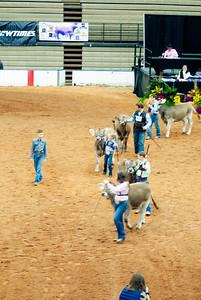 american_royal_cattle-16