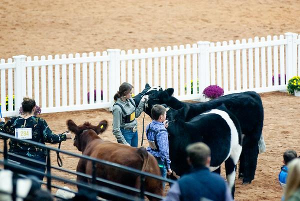 american_royal_cattle-18
