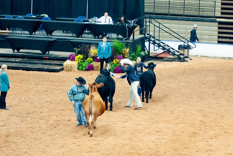 american_royal_cattle-15