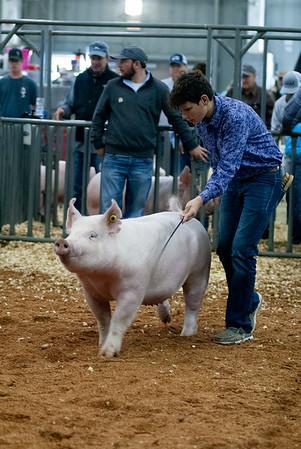 swine_gilts_20191018-4