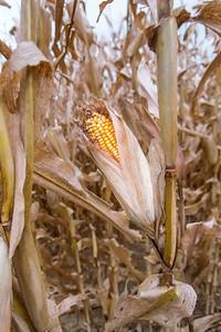 DA040,DJ,Last_Husk_Of_Corn_Hanging_Onto_Cornstalk