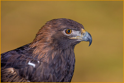 DA054,DP,Golden Eagle Portrait