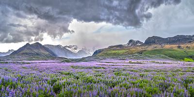 Alaskan Lupine