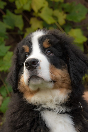2019 Bernese Mountain Dogs of the West Calendar