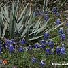 Bluebonnets03262019cactus