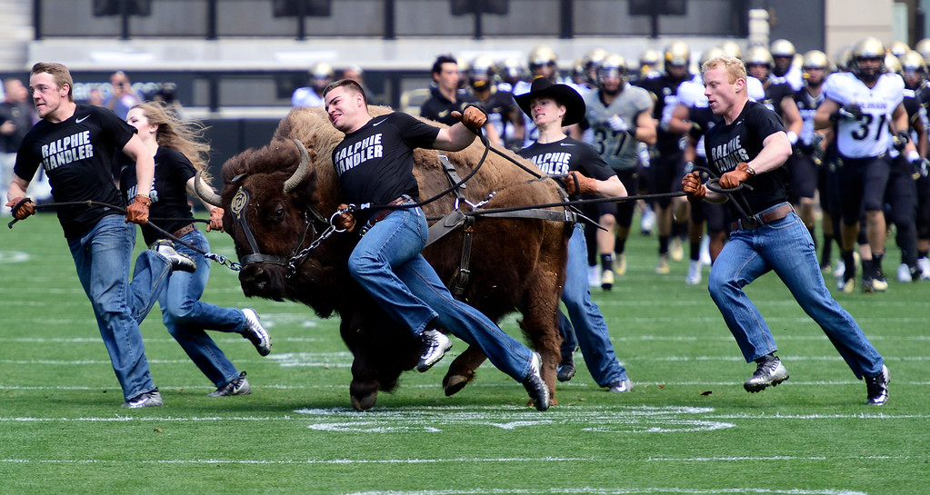 . Boulder, CO - April 27, 2019:  Ralphie does her thing during the 2019 CU Football Spring Game on April 27, 2019. (Photo by Cliff Grassmick/Staff Photographer)