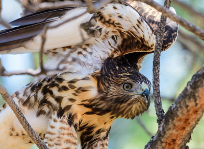 Red Tail Hawk in Carson City
