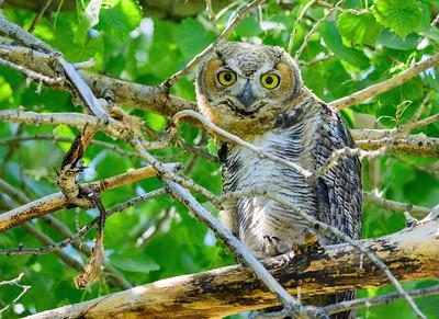 Owl in Carson City Park
