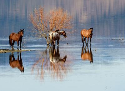 Wild Horses in Washoe Valley