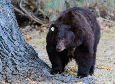 Black Bear in Carson City