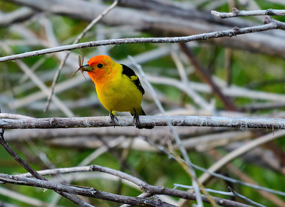 Western Tanager in Carson City