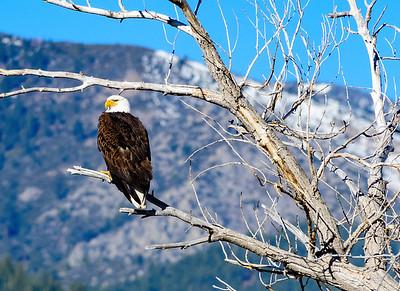 Bald Eagle at Washoe Valley