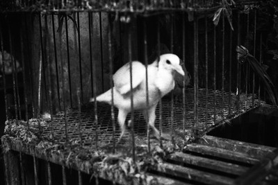 Yangwentao Fang: A caged pigeon