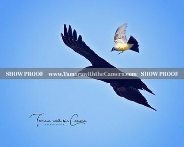 SVE 19 Crow & Finch 261