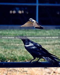 SVE 19 Crow & Finch 265