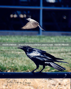 SVE 19 Crow & Finch 263