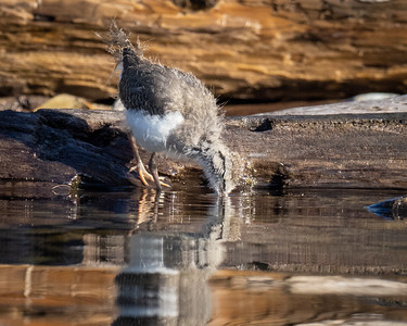 Spotted Sandpiper Chick getting a drink