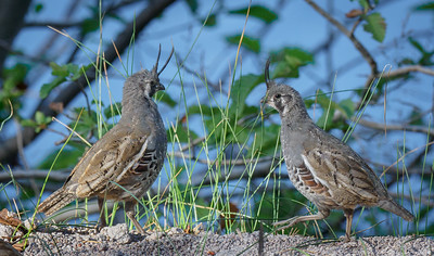 Mountain Quail Chicks at Manzanita Lake in Lassen Park