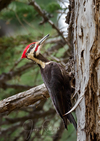 Pileated Woodpecker, Mineral CA
