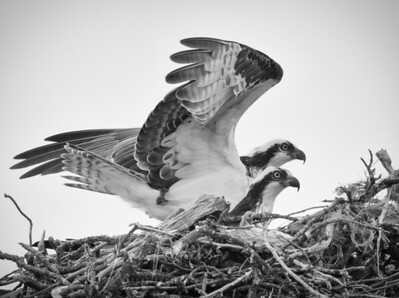 Ospreys in Black and White