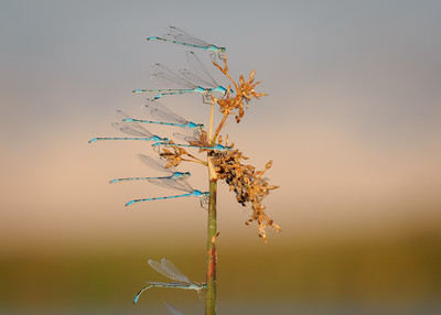 Bluet Damselflies at the Sacramento Wildlife Refuge