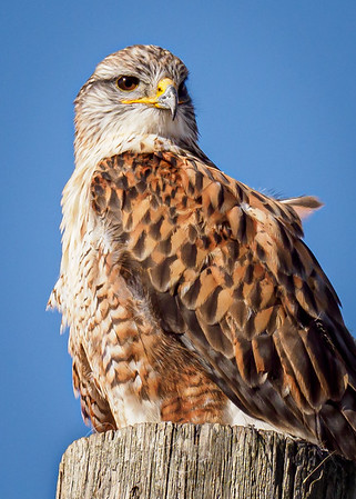 Ferruginous Hawk in January