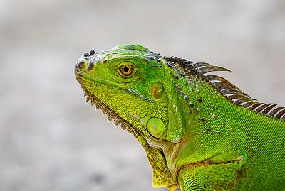 DA029,DN,Key West Iguana