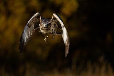 DA099,DN,Red-tailed Hawk, Bighorn Mountains_WY