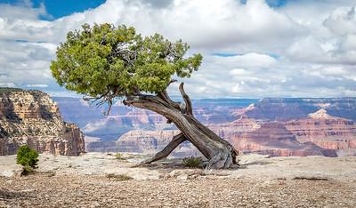 DA029,DP, Juniper tree