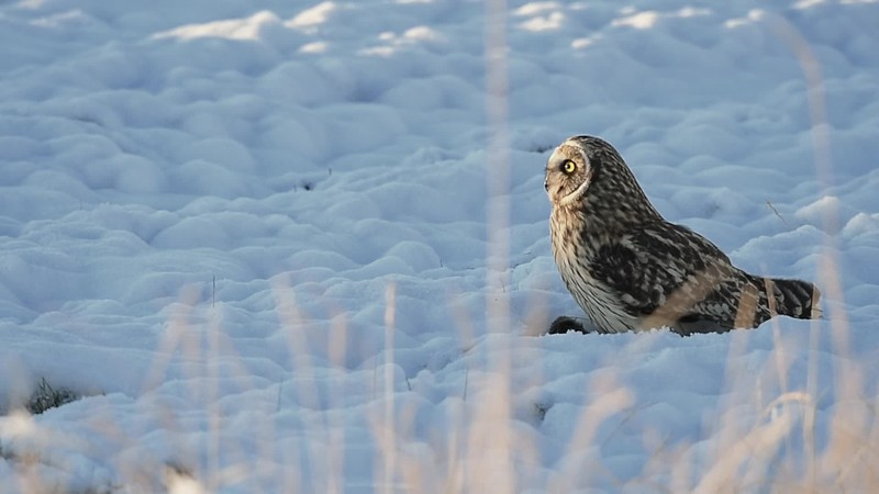 Short-eared owl Long