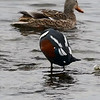 Harlequin Duck iMovie