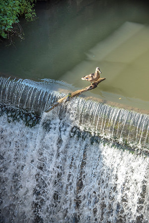 James Neiss/Staff Photographer<br /> Lockport, NY - Danger Duck - This duck appears to look fear right in the face as it teters on the brink of the waterfall in the Lockport Flight of Five historic Locks.