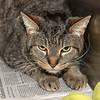 "James Neiss/staff photographer <br /> Sanborn, NY - Felix is a lovable 14 year old kitty that's looking for his forever home. Because Skippy is the Niagara Gazette Pet of the Week, his adoption fee is half off. <br /> <br /> For more information, contact the SPCA at 731-4368 or  <a href=""http://www.niagaraspca.org"">http://www.niagaraspca.org</a>."